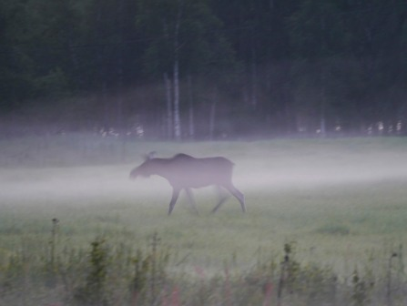 A moose in midsummer mist